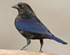 July 15 Audubon Birdwalk at Peña Blanca