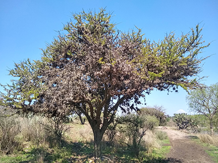 paxtle-covered-tree-w.jpg